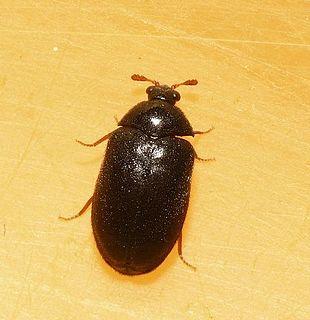 <i>Ctesias</i> (beetle) genus of insects