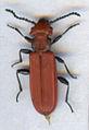 Cucujus cinnaberinus scan.jpg