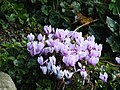 Cyclamen in Dublin.jpg