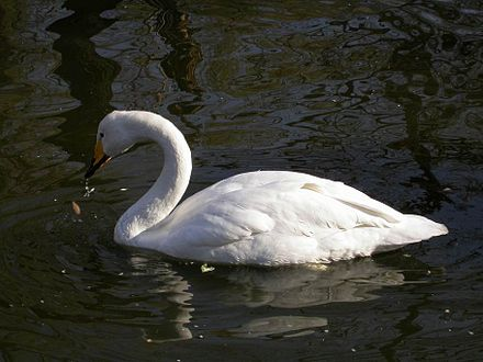 The whooper swan, Finland's national bird Cygnus cygnus from zh.JPG