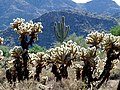 Cylindropuntia bigelovii in White Tank Mountains Reg Park - Vegetation and Peaks - 60164.jpg