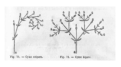 Cymes unipare & bipare - schéma.jpg