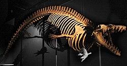 Cynthiacetus squelette.jpg