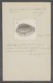 Cypraea variolaria - - Print - Iconographia Zoologica - Special Collections University of Amsterdam - UBAINV0274 088 02 0046.tif
