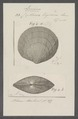 Cytherea tigerina - - Print - Iconographia Zoologica - Special Collections University of Amsterdam - UBAINV0274 078 01 0044.tif