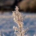 Dülmen, Hausdülmen, eisbedeckte Pflanze -- 2021 -- 5058.jpg