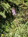 Dactylorhiza fuchsii RHu 01.JPG