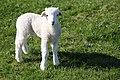 Dainty white lamb.jpg