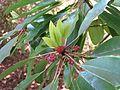 Daphniphyllum macropodum - Flickr - peganum.jpg