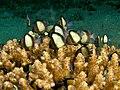 Dascyllus reticulatus (Reticulated dascyllus) in Acropora loripa (Hard coral).jpg