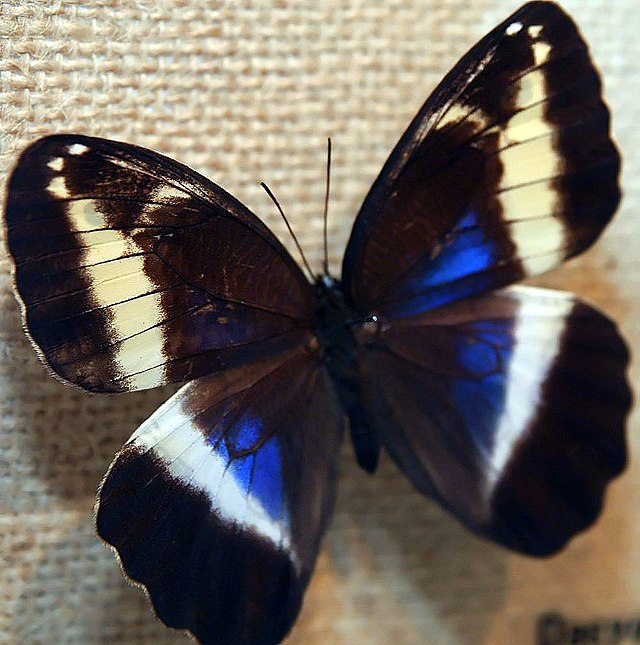 Bộ sưu tập cánh vẩy 6 640px-Dasyophthalma_creusa_0zz