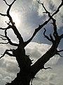 Dead tree - panoramio (3).jpg