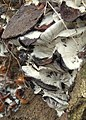 Decomposing Fungi - geograph.org.uk - 695086.jpg