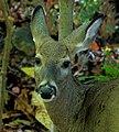Deer Face.jpg