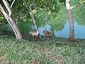 Deers - panoramio - Nagono.jpg