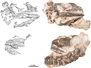 <i>Delorhynchus</i> genus of reptiles