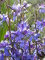 Delphinium andersonii (4412528300).jpg