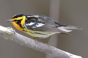 Setophaga - Blackburnian warbler, Setophaga fusca