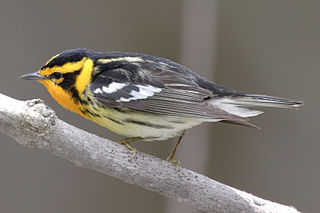 <i>Setophaga</i> genus of birds