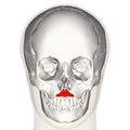 Depressor septi nasi muscle frontal.png
