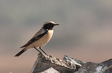 Desert Wheatear Male.jpg