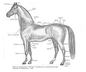Rump (animal) - Parts of the horse