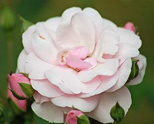 Floribunda (rose) - Floribunda Diadem (Tantau 1986) Rosarium Uetersen