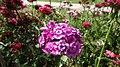 Dianthus flower bed.jpg