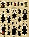 Die exotischen Käfer in Wort und Bild (1908) (20725431190).jpg
