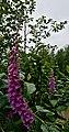 Digitalis purpurea in Clearwater Wilderness, WA.jpg