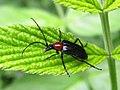 Dinoptera collaris 13 Vlasina.jpg