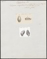 Dipsas irregularis - 1700-1880 - Print - Iconographia Zoologica - Special Collections University of Amsterdam - UBA01 IZ12000055.tif