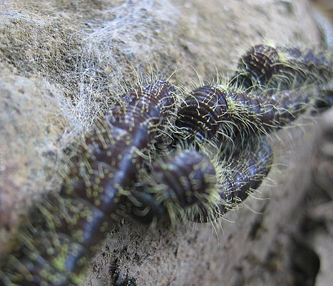 Part of a long ribbon of caterpillars near Boquete, Panamá