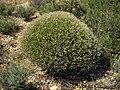 Dorycnium pentaphyllum 1.jpg