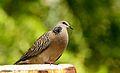 Dove at Salt lake, Kolkata.jpg