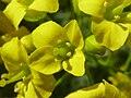 Draba longisiliqua (Cruciferae) flower.jpg