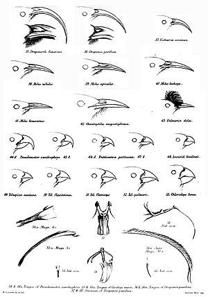 Hawaiian honeycreeper - Beak and tongue shapes of the Drepanididae and the Mohoidae