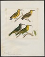 Drepanis lucida - 1820-1860 - Print - Iconographia Zoologica - Special Collections University of Amsterdam - UBA01 IZ19000239.tif