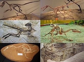 Dromaeosauridae - A collection of dromaeosaurid fossil skeletons. Clockwise from upper left: Deinonychus antirrhopus (a heavily built dromaeosaurine), Buitreraptor gonzalezorum (a long-snouted unenlagiine), Velociraptor mongoliensis (a small velociraptorine), Microraptor gui (a winged microraptorian), Halszkaraptor escuilliei (a semiaquatic halzkaraptorine), Zhenyuanlong suni (a long-winged dromaeosaurid)
