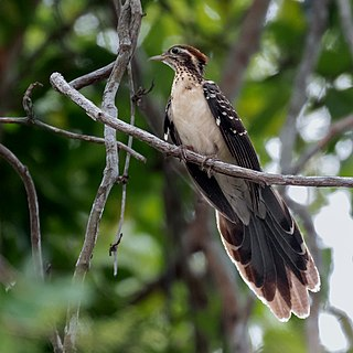 Pheasant cuckoo Species of bird