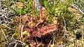 Drosera rotundifolia in Ostrobothnia.jpg