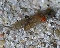 Drosophila P1540733a.jpg