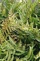 Dryopteris erythrosora 9zz.jpg