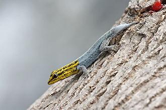 Regeneration (biology) - Dwarf yellow-headed gecko with regenerating tail