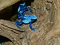 Dyeing Dart Frogs (Dendrobates tinctorius) 'azureus' morph - Zoo du Lunaret, Montpellier, France.jpg