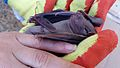 Dying bat in the hands of a volunteer at building demolition site.jpg