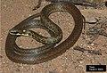 E. undulata.jpg