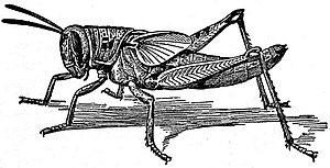 EB1911 Hexapoda - Nymph of Locust.jpg