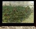 ETH-BIB-Ricinus-Feld (Früchte) bei Giubiasco-Dia 247-13969.tif