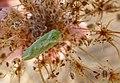 Earias insulana. Moth of Egyptian Bollworm (32707411786).jpg